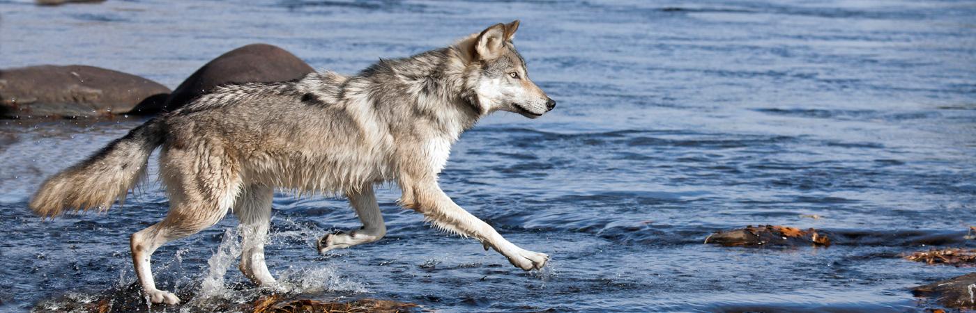 Quetico-Wolf1