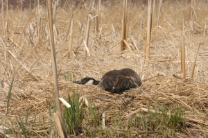 A Canada goose lays flat in a defensive posture protecting its nest.