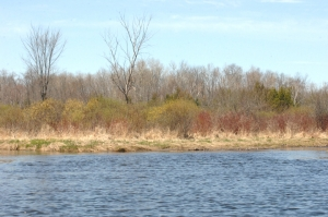 Dogwood, willows, swamp maples, birches and cedars along the shores of the Nonquon River.