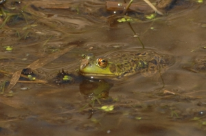 This green frog basked in the sun and waited for aquatic food along the banks of the Nonquon River.