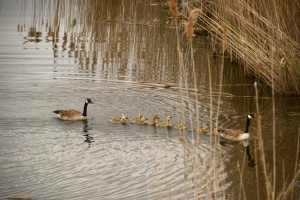 Canada_geese_and_goslings_Big_Creek_National_Wildlife_Area_7_5_2016_Noah_Cole_2_1330