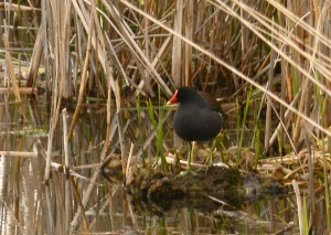 purple_gallinule_Big_Creek_National_Wildlife_Area_7_5_2016_Noah_Cole_2_1360