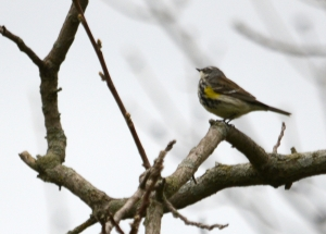 yellow-rumped_warbler_Port_Royal_cemetary_7_5_2016_Noah_Cole_2_1371