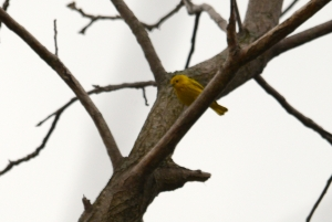 yellow_warbler_Port_Royal_cemetary_7_5_2016_Noah_Cole_2_1367