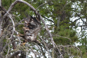 Juvenile Bald Eagle in Stanton Bay