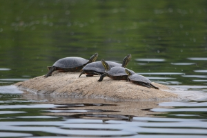 Western painted turtles in Stanton Bay.