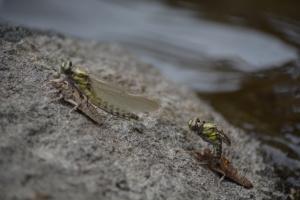Dragonflies emerging.
