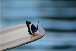 a white admiral butterfly visits the canoeists