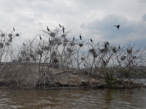 Cormorants on Hickory Island with elevated water levels, Cootes Paradise, Quetico Foundation Canoe Day,  Royal Botanical Gardens, May 13 2017, Credit: Noah Cole   This event supports Quetico Foundation's Ridley Wilderness Youth Program, providing young leaders from across the Toronto District School Board with a wilderness canoe trip experience in Quetico Park.   Learn more about the Quetico Foundation and the Ridley Wilderness Youth Program: http://queticofoundation.org/what-we-do/programs/