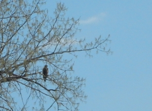 bald eagle, Cootes Paradise, Quetico Foundation Canoe Day,  Royal Botanical Gardens, May 13 2017, Credit: Noah Cole   This event supports Quetico Foundation's Ridley Wilderness Youth Program, providing young leaders from across the Toronto District School Board with a wilderness canoe trip experience in Quetico Park.   Learn more about the Quetico Foundation and the Ridley Wilderness Youth Program: http://queticofoundation.org/what-we-do/programs/