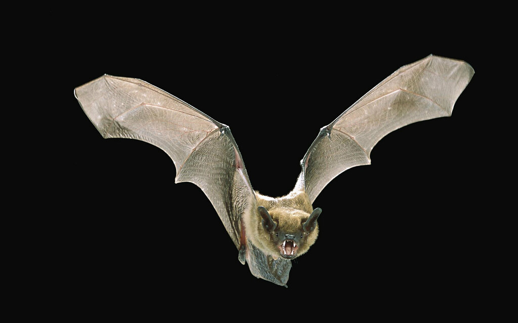 big_brown_bat_Angell_Williams_CC_BY_2.0