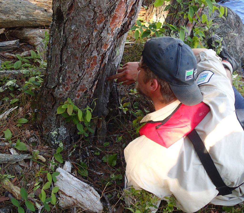– Jared Walter Stachiw (QPP Assistant Biologist) counting the visible fire scars on an old red pine. Credit: Brian Jackson