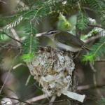 Figure 1. Red-eyed vireo at nest - Prairie Portage, Quetico Provincial Park. Photo credit: D. Riley